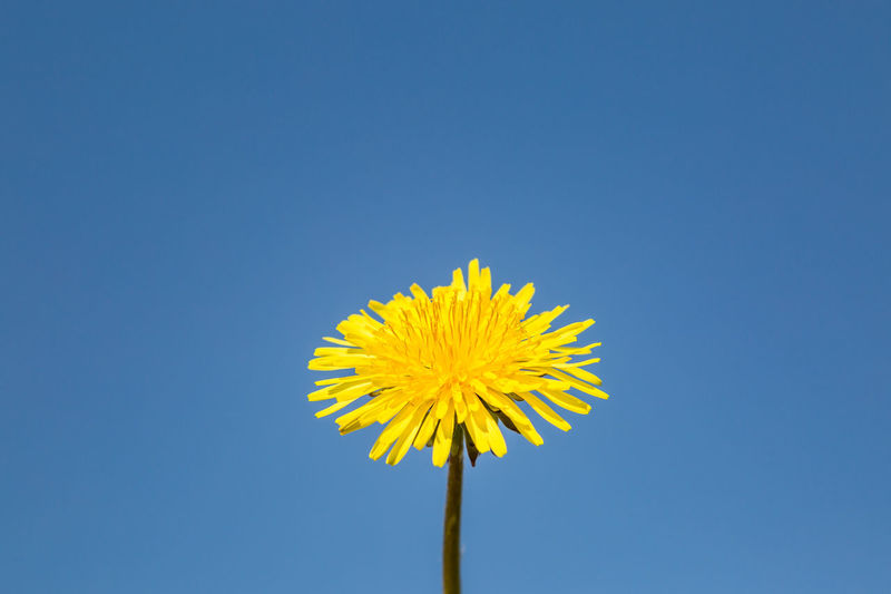 A vivid yellow dandelion flower against a clear blue sky Dandelion Weeds Flower Blue Yellow Flowering Plant Sky Copy Space Vulnerability  Freshness Flower Head Fragility Inflorescence Plant Beauty In Nature Nature Clear Sky Close-up Petal No People Low Angle View Outdoors Softness Colour Colors