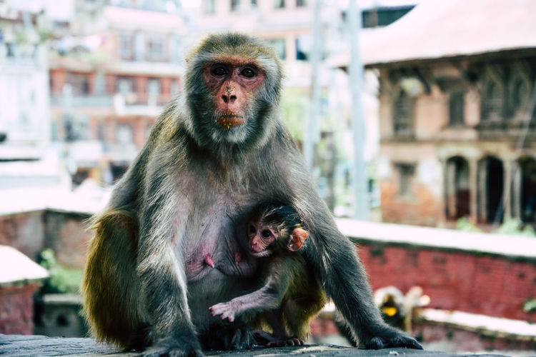 Animal Themes Close-up Day Focus On Foreground Mammal Monkey Nepal Outdoors Portrait Sitting Travel Destinations