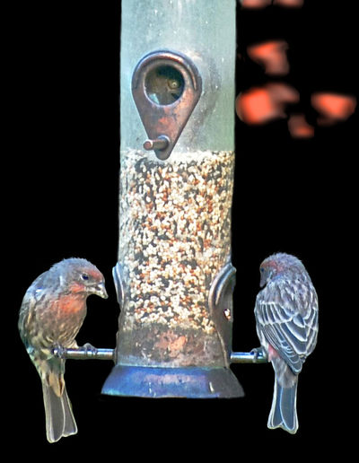Finches On A Feeder Backyardphotography Painterly Tranquil Scene Outdoors Quiet Moments Black Background Water Drinking Glass Close-up
