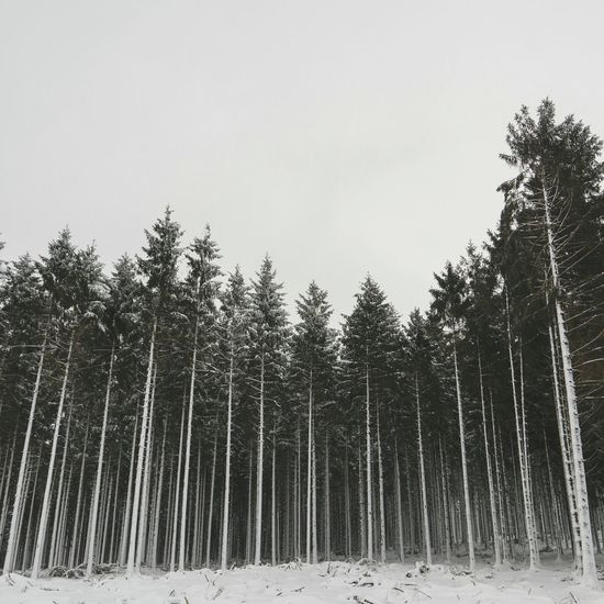 Trees A Walk In The Woods Wanderlust Woods Pines Snow The Great Outdoors - 2015 EyeEm Awards Protecting Where We Play Market Bestsellers April 2016 The Great Outdoors With Adobe Market Bestsellers June 2016 Bestsellers Market Bestsellers 2017