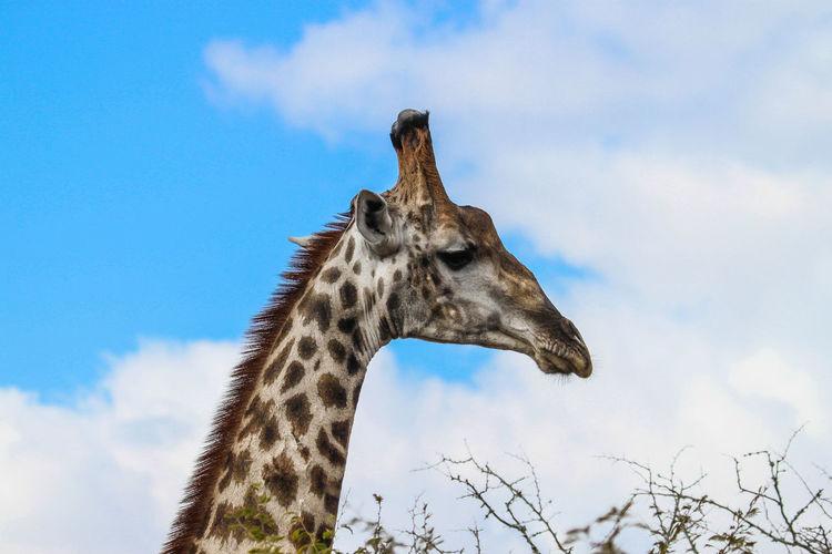 Animal Themes Animal Wildlife Animals In The Wild Close-up Cloud - Sky Day Giraffe Low Angle View Mammal Nature No People One Animal Outdoors Safari Animals Sky