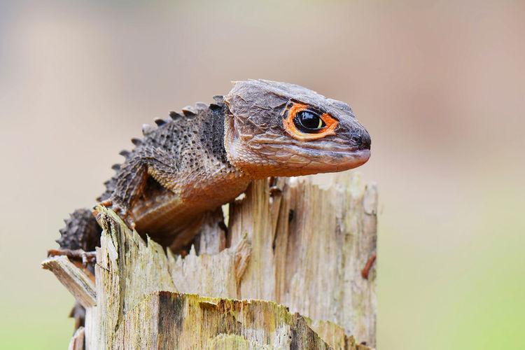 Close-up of red-eyed crocodile skink on wood