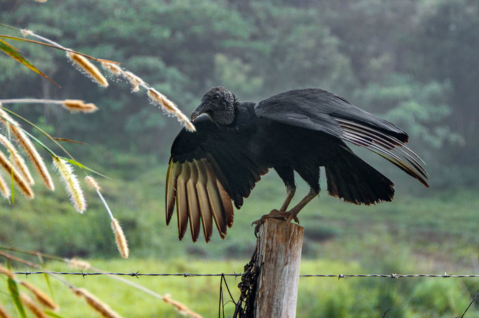 Vulture Natural Light Volture Bird Bird Photography Animal Themes Volture Urubu Bird One Animal Animal Wildlife Animals In The Wild No People Perching Close-up Animal Themes Nature Full Length Spread Wings Outdoors Day