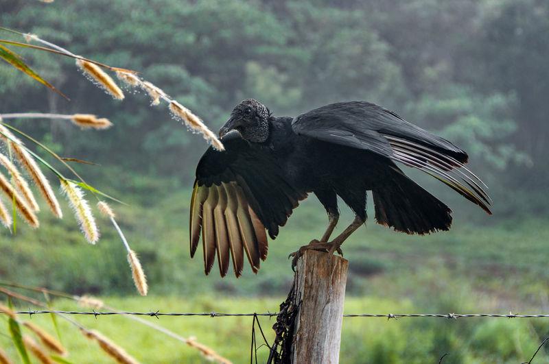 Vulture Natural