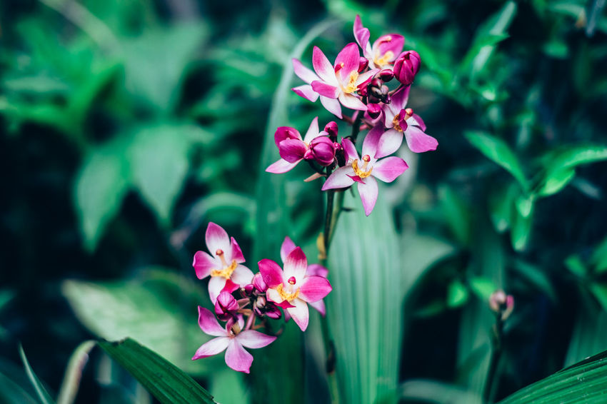 ground orchid Beautiful Copy Space Exotic Green Orchid Backgrounds Beauty In Nature Blooming Close-up Contrast Day Flower Flower Head Fragility Freshness Ground Orchid Growth Leaf Nature Outdoors Petal Pink Color Plant Selective Focus Voilet The Week On EyeEm