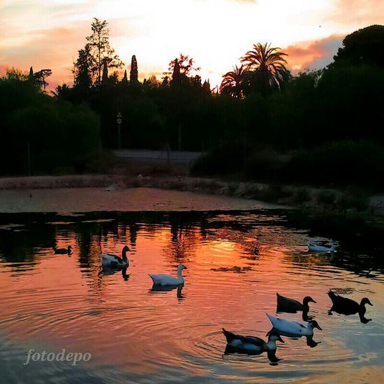Reflections Water Sunset Nature Animals Laguna Atardecer Patos Ducks Naturaleza Backlight Reflejos Water Reflections Agua Contraluz