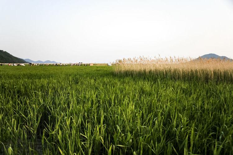 Sooncheonmaan Sooncheon Bay Korea Wetland Grass Silver Grass Rural Landscape