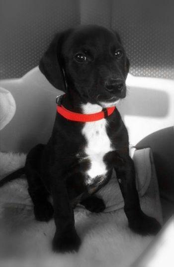 My puppy ❤️ Domestic Animals Dog EyeEm Huaweiphotography #MyDog Babyanimal Love My Dog  Pets Portrait Sitting Dog Looking At Camera Black Labrador Collar Black Color Puppy