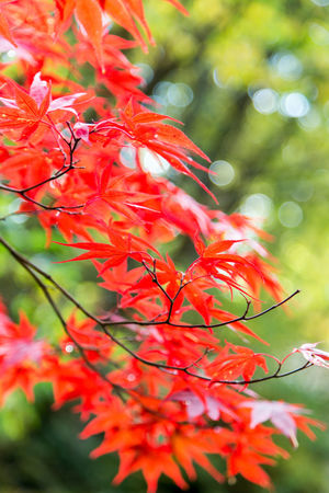 maple leaves on a try at Autumn Beauty In Nature Close-up Day Flower Focus On Foreground Fragility Freshness Growth Nature No People Outdoors Red Tree