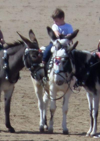 Essence of summer. Three donkeys on a beach. Little boy on a donkey on a beach. Blackpool beach. Day donkeys Donkeys On The Beach. Donları Essence Of Summer. Donkey Outdoors Young Animal child on a donkey child on a donkey on a beach summertime activity. Donkey riding.