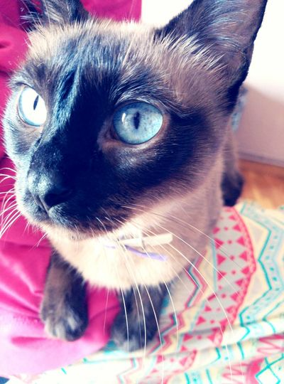 Misha Cat Catstar #cat #catnap #catoftheday #catpic #catlovers #catsconnect #catinstagram #catsofinstagram #gato #gatinhos #gatto #garfield #petstagram #premierpet #photooftheday #petsofinstagram #picoftheday #petlovers #instabicho #ilovecats #ilovemypet #issovici Misha Ilovecats Gats Gato😽 Gata ♡ Caturday !