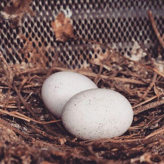 Egg Eggs Yumurta Guvercin Güvercinyumurtası Kuşyuvası Birdeggs Birdegg Kumru Pigeonegg Pigeoneggs Bird Birdsnest