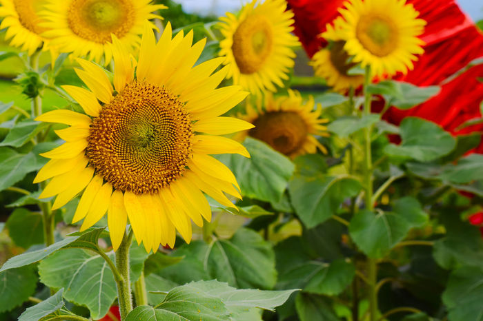Beauty In Nature Blooming Close-up Day Flower Flower Head Fragility Freshness Growth Kawa Kawa Hill, Ligao City Nature Nature Nature Photography No People Outdoors Petal Plant Pollen Sunflower Yellow The Great Outdoors - 2017 EyeEm Awards