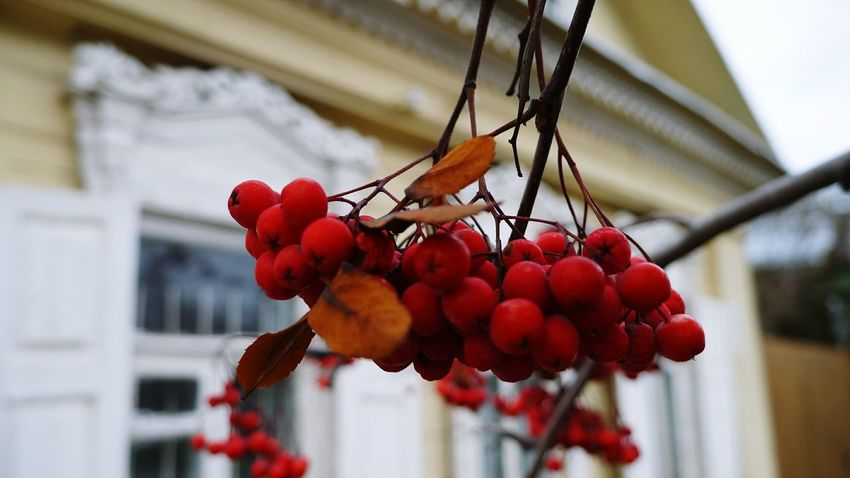 Fruit Red Food And Drink Freshness Food Hanging Healthy Eating Growth Close-up Outdoors Nature Berries On Tree Berries Collection Berries On A Branch Berries On Branch Red Berries Rowan Rowanberry Red Red Color Natural Red Plant рябина красный рябина красная