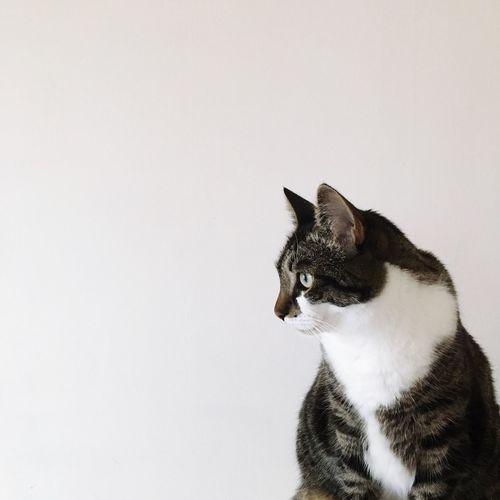 My Pet White Background Cat Jónsi
