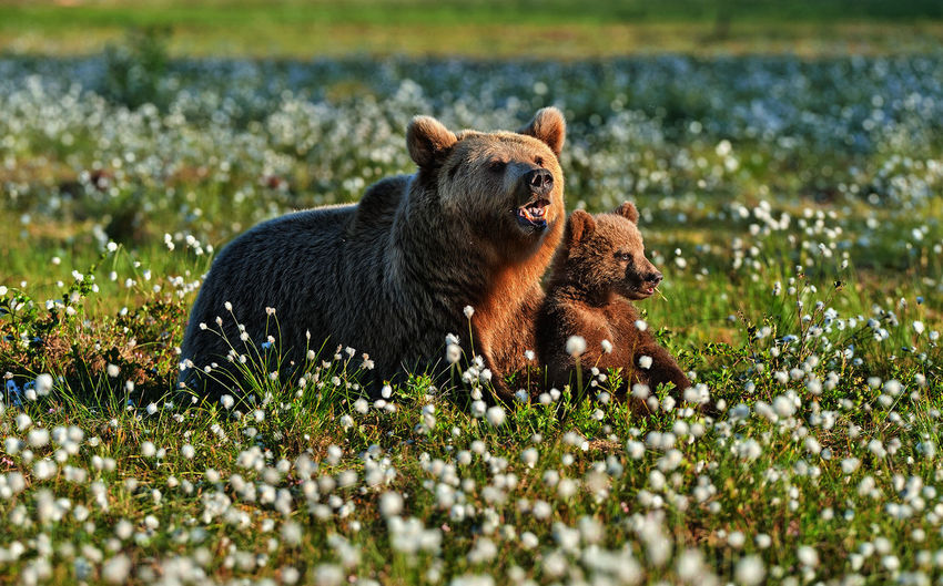 Bears sitting by flowering plants on land