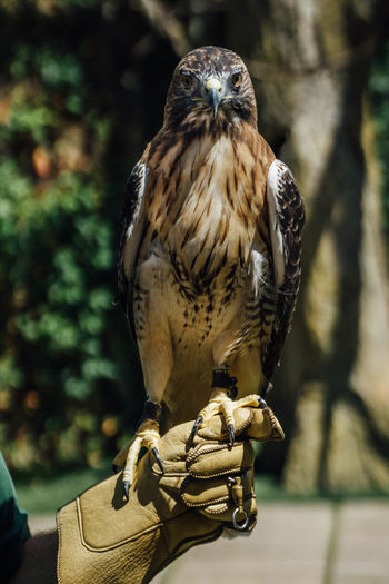 Portrait of red-tailed hawk on falconer hand