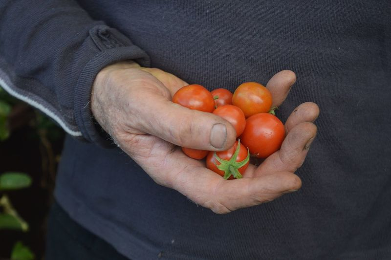 farmer's hand holding cherry tomatoes Abundance Close-up Food And Drink Freshness Gardening Hands Healthy Eating Healthy Lifestyle New Life Organic Part Of Red Ripe Vegetable