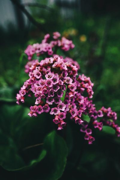 Flowering Plant Flower Plant Beauty In Nature Vulnerability  Fragility Growth Freshness Close-up Pink Color Nature Petal Day No People Focus On Foreground Inflorescence Purple Flower Head Botany Selective Focus