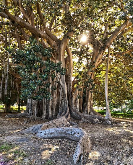 Ficus Ficus Tree Old Antique Enormous Plant Life Tree Tree Trunk Shadow Branch Scenics Tranquil Scene Tranquility