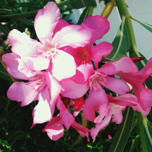 لا يعجبك نوار دفلة ... Flower Pink Spring