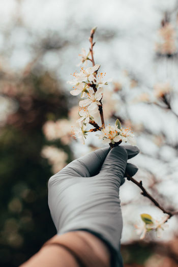 Close-up of hand holding cherry blossom
