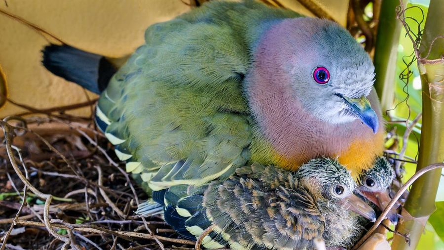 Animal Themes Animal Wildlife Animals In The Wild Baby Birds Beauty In Nature Bird Close-up Day Nature Nest No People Outdoors Perching Pigeon