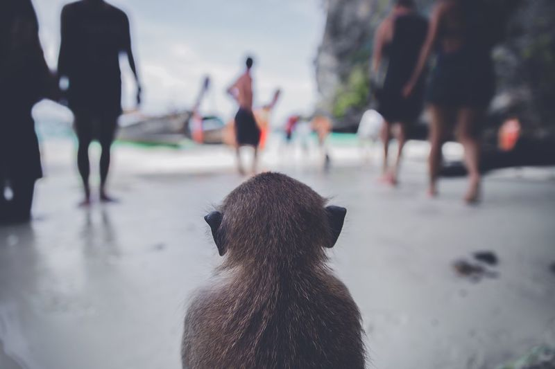Rear View Of Monkey At Beach Against People