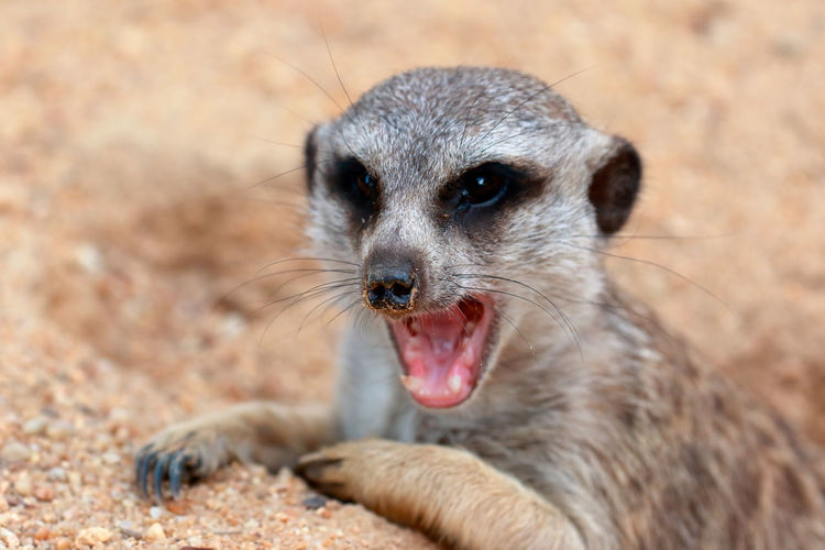 Close-Up Of Meerkat With Mouth Open