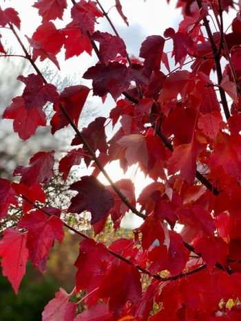 Red Autumn Red Plant Autumn Branch Beauty In Nature Tree Day Nature Leaf Outdoors Close-up