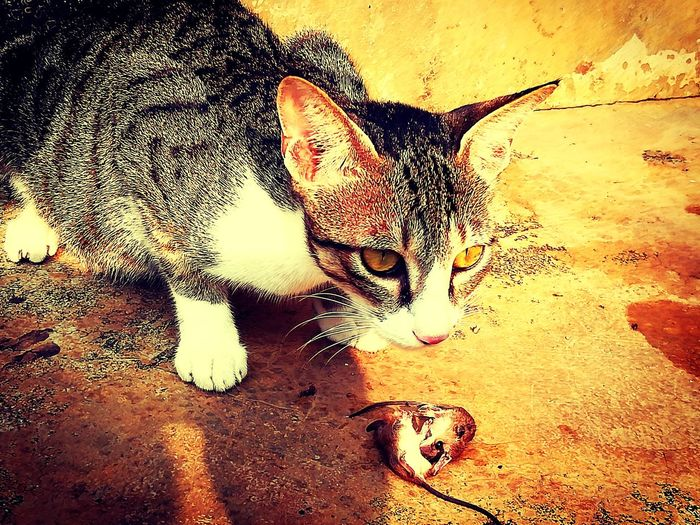 Animal Themes One Animal Animals In The Wild No People Mammal Cat♡ Cat Eating Rat Morning Breakfast Mouse🐹 Sand Day Feline Nature Domestic Cat Close-up