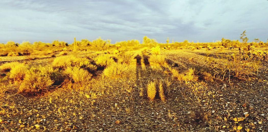Getting lost in the golden desert Arizona Spring Sonoran Desert Shadows Blue Sky EyeEm Selects Tree Yellow Desert Field Rural Scene Sky Landscape Cloud - Sky Prickly Pear Cactus Cactus First Eyeem Photo