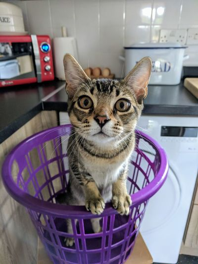 Portrait of cat in basket at home