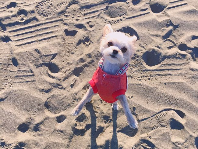 Love Dog Sand Looking At Camera High Angle View Beach 愛犬 海 砂浜