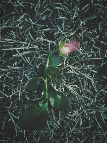 Rose Flower One Flower Pink Flower Green Background Close Up Frozen Grass Gentle Flower Vintage Edit  Fading Flower Cut Flowers Pink And Green
