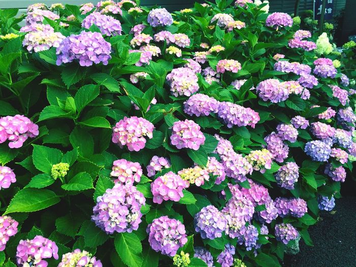 Hydrangea Japan EyeEm Best Shots Flower