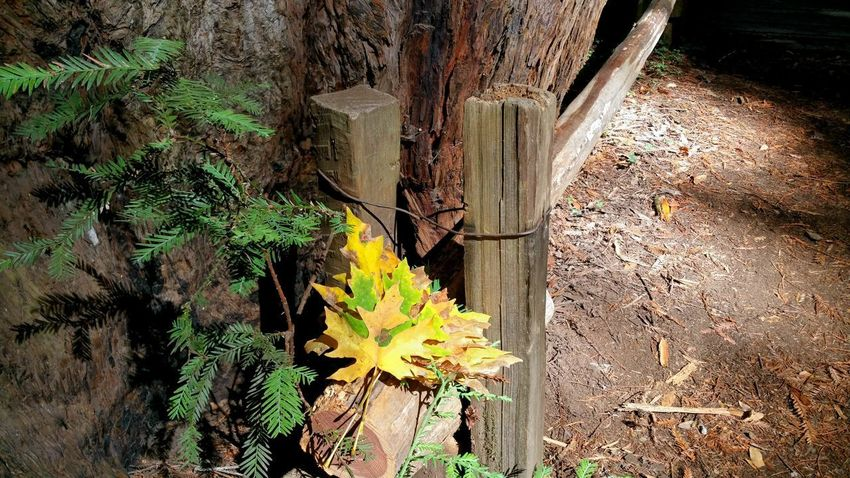 Autumn leaves and wooden fence posts with wire. Background redwood tree bark, sapling and ground dirt/soil. Forest. Sapling Redwood Fence Posts Wire Leaves Gold Green Yellow Pink Rust Soil Ground Angled Background Copy Space Solitude Zen Autumn Fall Season  Leaf Sunlight Close-up Plant Growing Tree Trunk Plant Bark Woods Branch Moss