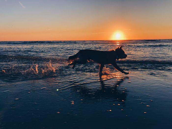 Dog running at beach during sunset
