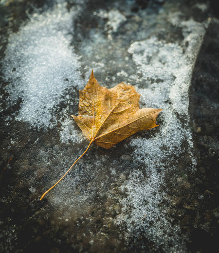 Autumn Beauty In Nature Change Close-up Day Dry Falling Focus On Foreground Fragility High Angle View Leaf Leaf Vein Leaves Maple Leaf Natural Condition Nature No People Outdoors Plant Plant Part Vulnerability  Yellow