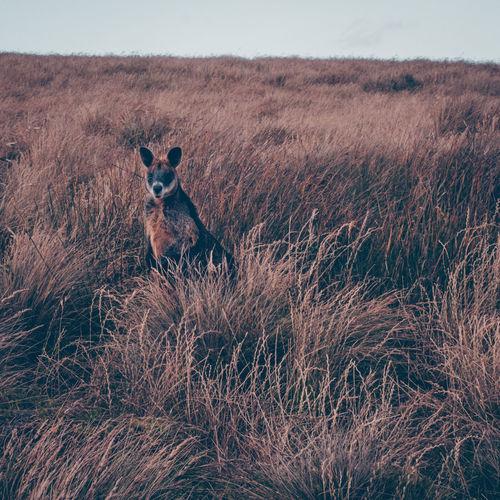 View of kangaroo on field