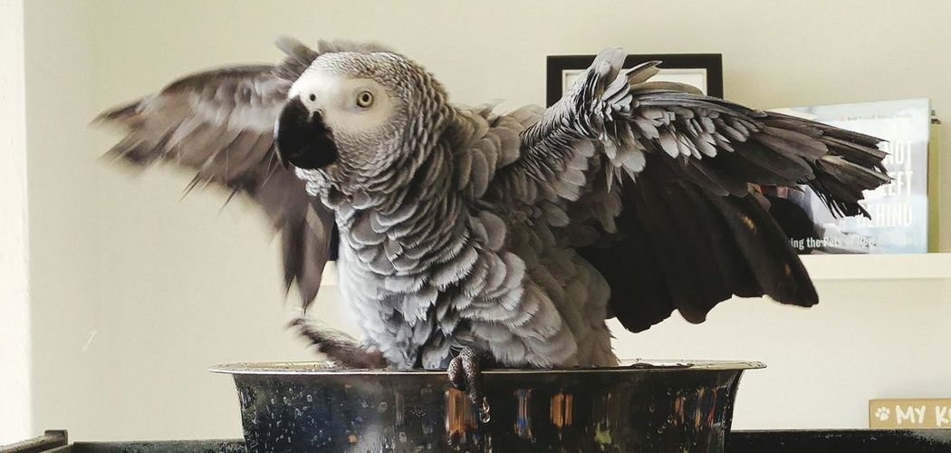 Close-up portrait of african grey parrot perching in container