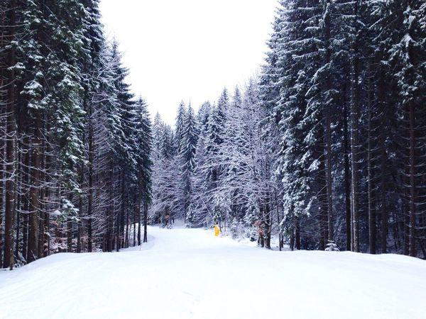 Karpaty Карпаты Winter Bukovel Fir-tree буковель Carpathians