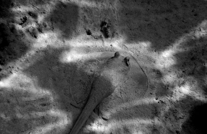 Skat Stingray Sea Red Sea Sea_collection Black And White Black & White Beauty In Nature No People Water Nature_collection Nature Nature Photography EyeEmNewHere