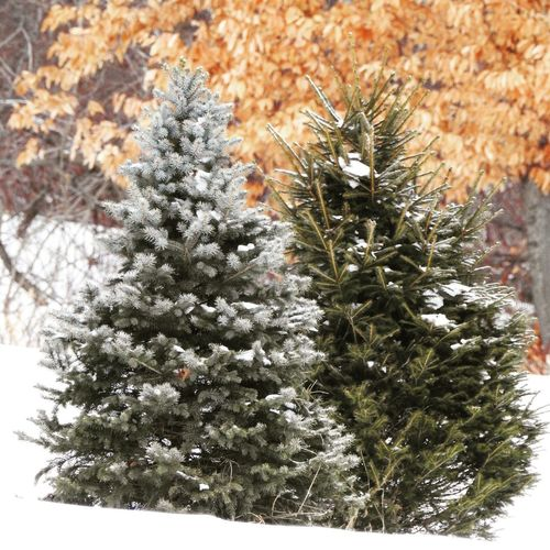2 evergreen trees in the snow. Northeast winter landscape Nature Nature Photography Beauty In Nature christmas tree Winter Landscape Northeast Season  Snow Covered Trees Leaves Orange Color Blue Spruce Tree Winter Snow Close-up Plant Needle - Plant Part Coniferous Tree Evergreen Tree Spruce Tree Pine Tree Pine Cone Fir Tree Needle Pine Woodland Relaxed Moments