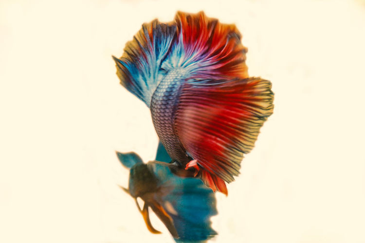 Animal Themes Blue Close-up Fish Indoors  Motion Multi Colored White Background