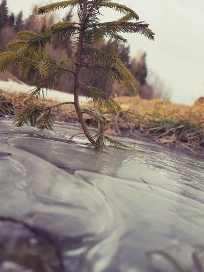 small spruce in