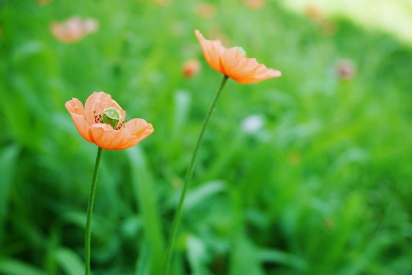 Wildflower Orange Flower Poppy Flowers Flower Head Flower Poppy Leaf Insect Close-up Grass Animal Themes Plant Green Color