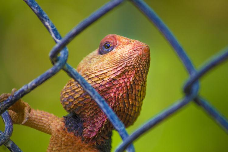 Chameleon on fence