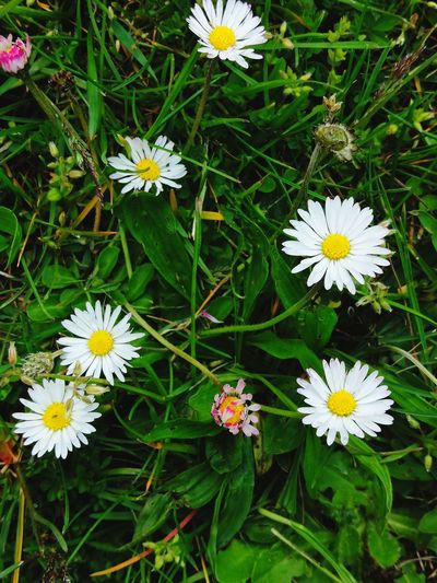 High angle view of daisy flowers on field