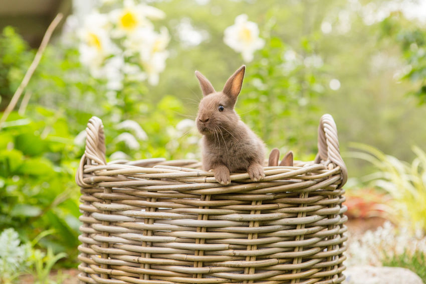 Escaping bunny Bunnies Animal Themes Basket Brown Fur Bunny  Bunny Ears  Cute Deciding Domestic Animals Easter Bunnies  Escape Flowers Garden Looking No People Outdoors Pets Rabbit Sweet Wonder